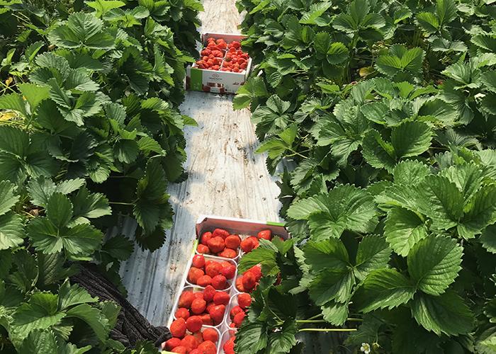aarbeien_kweken_aardbeien