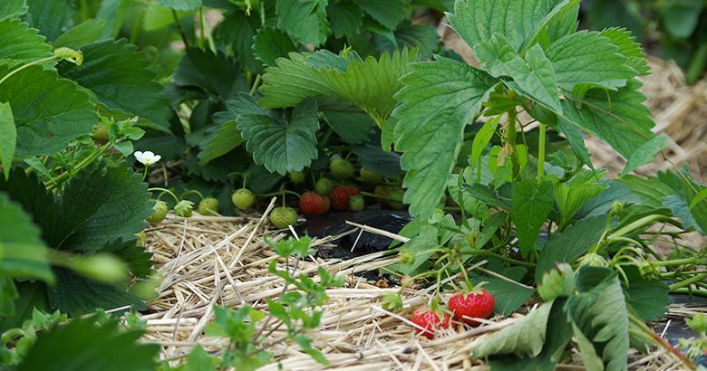 puur-aardbei-telen-aardbeien